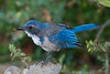 "Western (California) Scrub Jay eating a ""yellow jacket"" wasp"