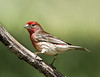 House Finch in breeding plumage