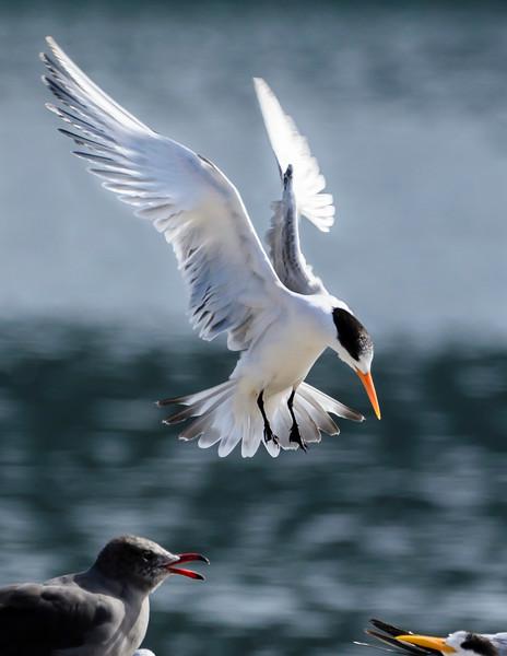 Elegant Tern carefully lands on crowded rock