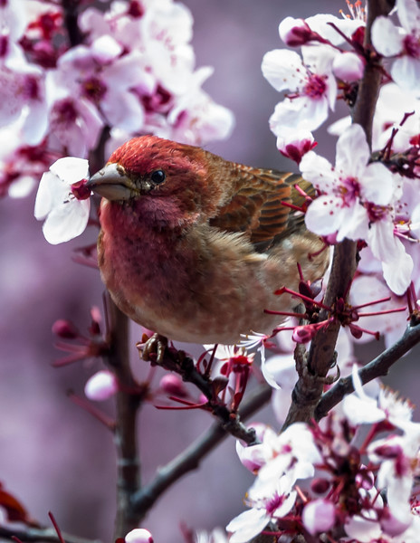 House Finch Eating Flowers in Front of My Office Window