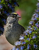 Golden-crowned Sparrow on Statice flowers