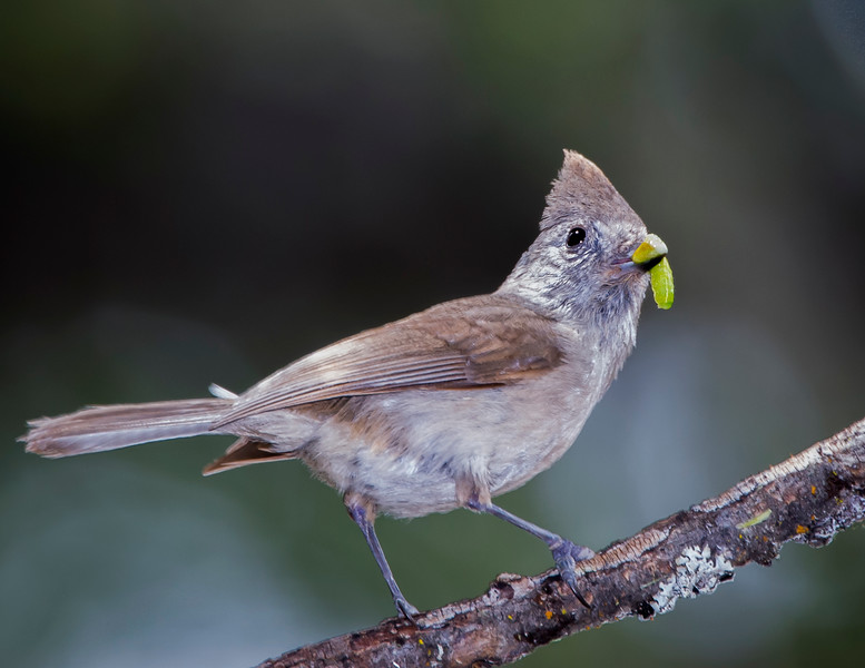 Oak Titmouse brings a morsel back to the nest