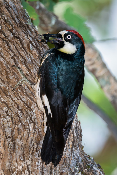 Acorn Woodpecker returning to the nest