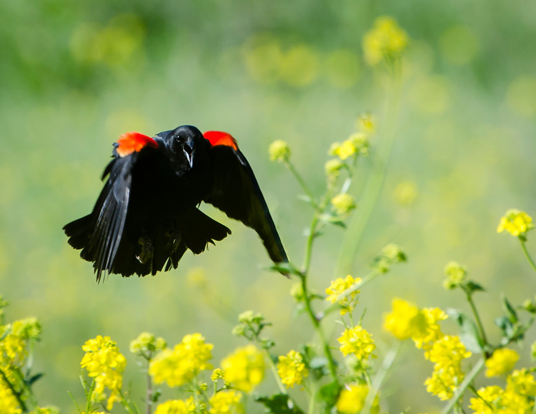 Male Red-winged Blackbird makes lots of noise as he comes in for a landing