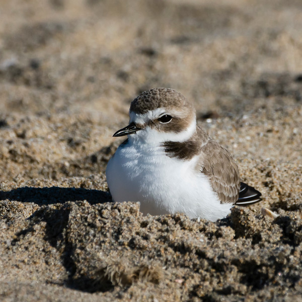 Snowy plover cozy on the beach