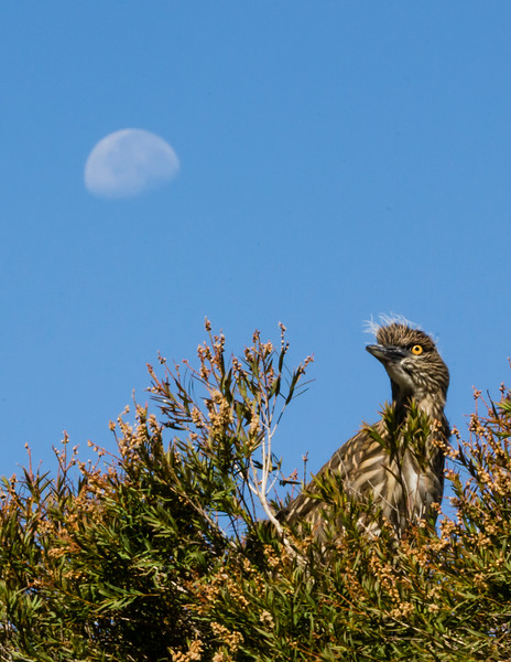 Young Black-crowned Night Heron sits in the tree top waiting for breakfast from its parents
