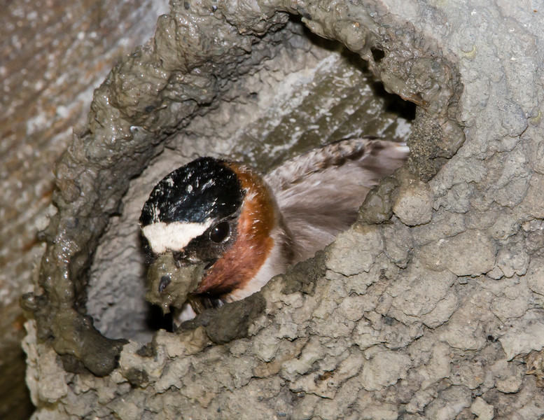 Cliff Swallow working on its nest