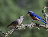 Bluebird father feeds fledgling chick on a branch near their nest