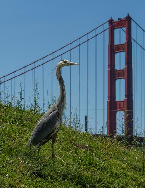 Great Blue Heron near the Golden Gate Bridge