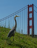Great Blue Heron near the Golden Gate Bridge
