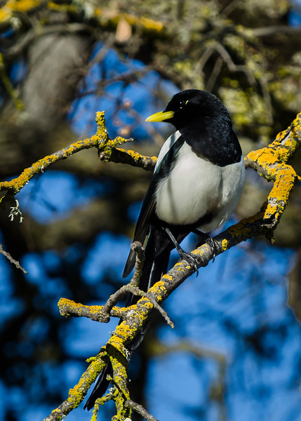Yellow-billed Magpie greets visitors at the HWY 101 rest stop