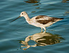 American Avocet foraging in the bay