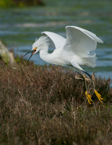 Snowy Egret Defends Territory