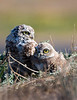 Parent and young, burrowing owls at Shoreline Park