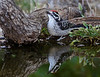 Male Nuttall's Woodpecker with reflection