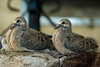 Baby Mourning Doves in my garden