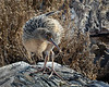 Endangered Clapper Rail spent several minutes preening on a log for grateful photographers