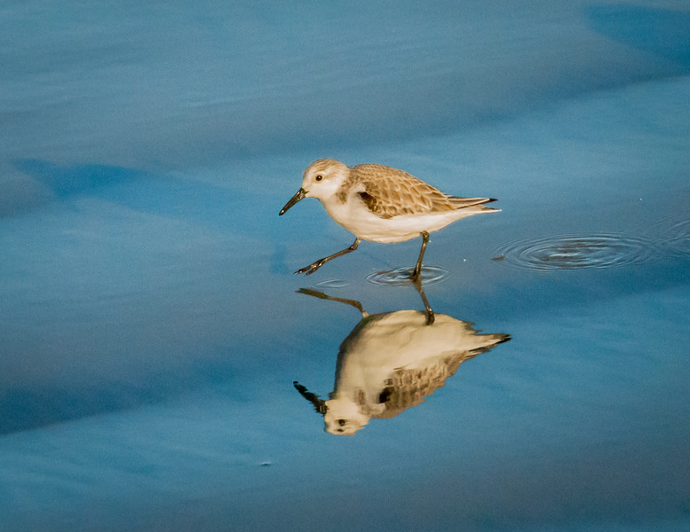 Sanderling pair follow the surf