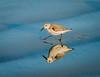 Sanderling pair follow the surf