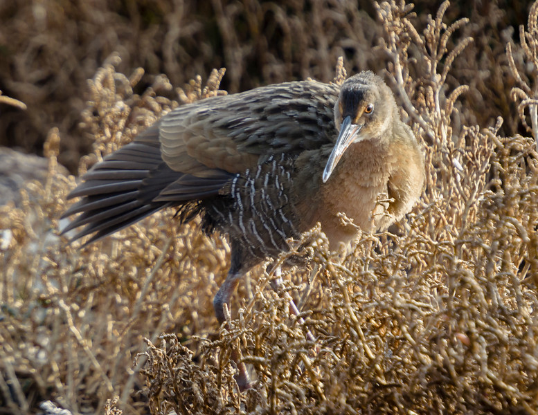 Clapper Rail takes a final stretch before dissapearing into the brush