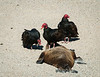 Turkey Vultures Gather