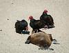 Turkey vultures gather