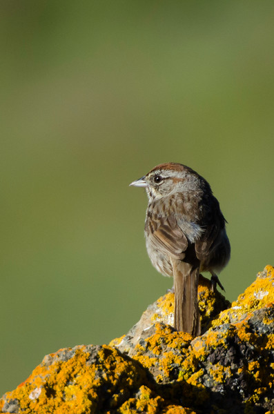Rufous-Crowned Sparrow on lichen covered rock