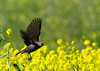 Female Red-winged Blackbird takes flight
