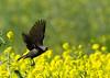 Female Red-winged Blackbird takes flight