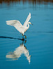 Snowy Egret walks on water as it takes to the air
