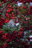 Northern Mockingbird  and Pyracantha