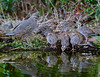 California Quail mother and chicks come down to drink