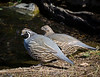 California Quail pair stop to drink