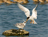 A Forster's Tern parent feeds its chick on a rock in the bay