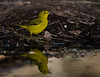 Yellow Warbler reflection