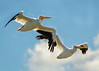 White Pelican Fly-by - American White Pelican