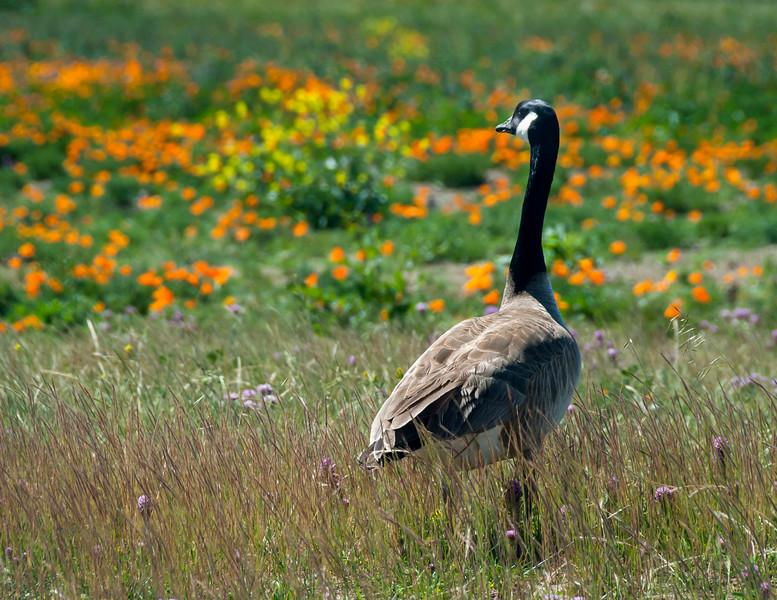 Canada Goose Looking Over Wild Flowers