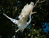 A Great Egret takes flight...