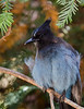 A Steller's Jay wonders if we are done eating yet