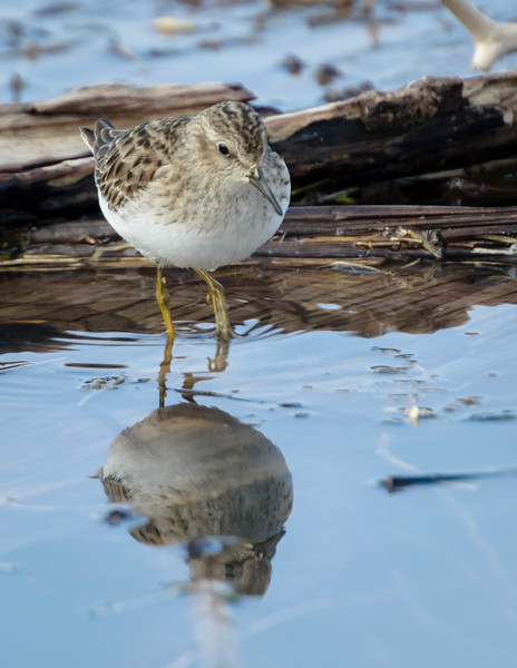 Least Sandpiper with reflection