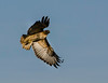 Red-tailed Hawk on the prowl!