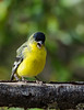 Singing Lesser Goldfinch
