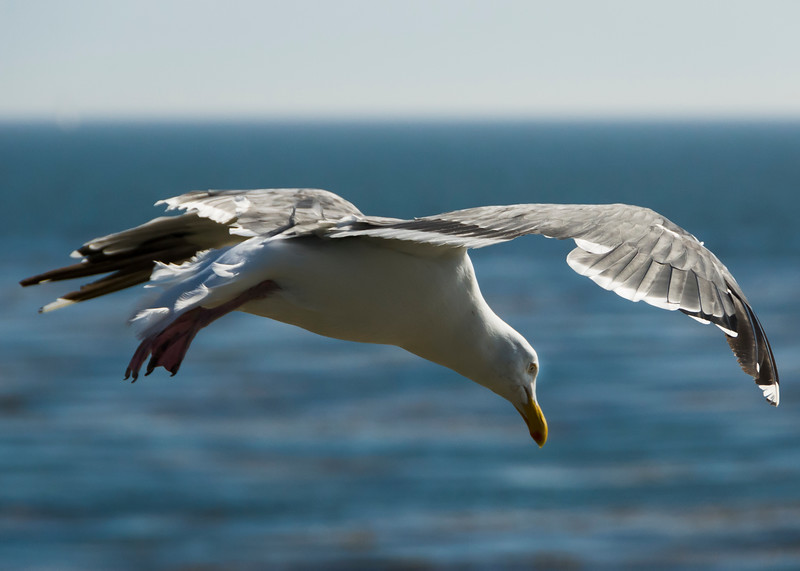 Hovering Herring Gull