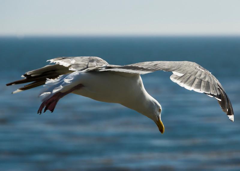 Hovering Herring Gull