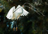 Snowy egret carries nesting material back to the nest
