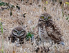 "Burrowing Owls give me ""the look"""