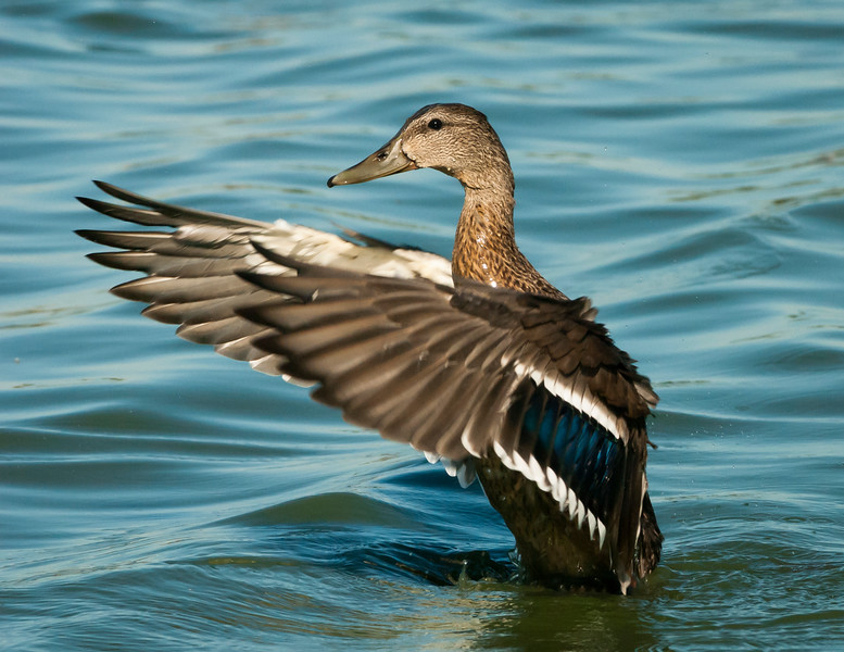 Female Mallard stretches her wings