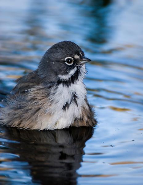 Sage Sparrow in the bath
