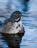 Sage Sparrow in the bath