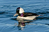 A short stop in Moss Landing revealed Bufflehead Ducks. What a cool looking bird!